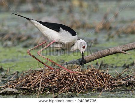 Black-winged Stilt ( Himantopus himantopus)