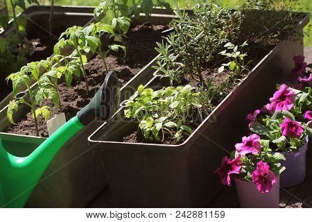 Container Vegetables Gardening. Vegetable Garden On A Terrace. Herbs, Tomatoes Seedling Growing In C