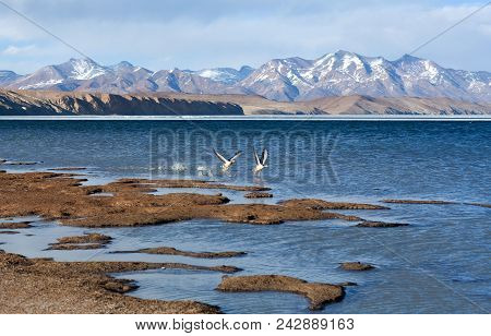 Bar-headed Goose Flying Off At Manasarovar Lake In Western Tibet. The Bar-headed Goose Is A Goose Th