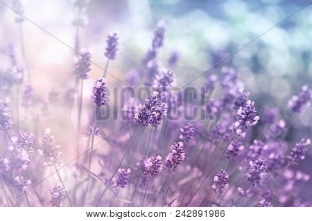 Selective And Soft Focus On Lavender Flower, Beautiful Lavender In Flower Garden