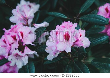 Rhododendron Pink Flowers Background. Rhododendron Flower Pattern.