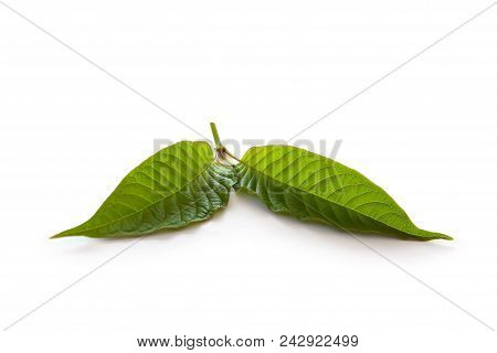 Kratom Leaves Isolated On White Background. Natural Medical Herbs.