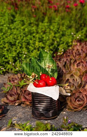 Fresh Red Cherries In Vintage Tin On Stone With Small Red Flowers In Background
