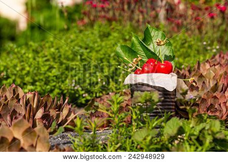 Fresh Red Cherries In Vintage Tin On Stone With Small Red Plants In Background