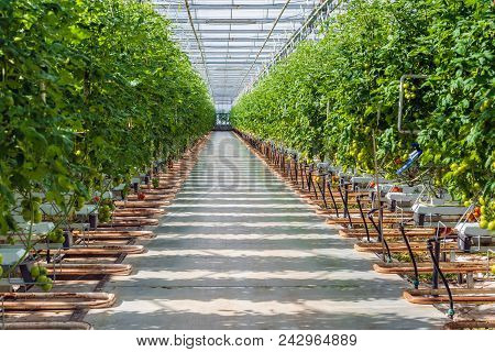 Wide Corridor In A Large Dutch Greenhouse With Tomato Cultivation On Hydroponics. Tomatoes Are An Im