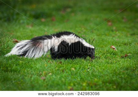 Striped Skunk (mephitis Mephitis) Walks Right In Grass - Captive Animal