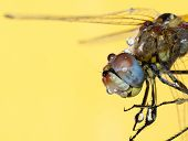 A dragon fly wth water droplets on it with a yellow background. poster