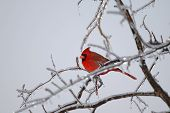 The northern cardinal holds the record for popularity as a state bird. It is the state bird in seven states. poster