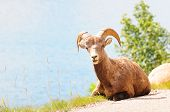 Big horn sheep on the road near Medicine lake in Jasper, Canada poster