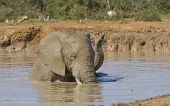 African elephants taking a mud bath at the water hole poster