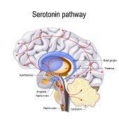 Serotonin pathway. Humans brain with serotonin pathways. psychiatric and neurological disorders. poster