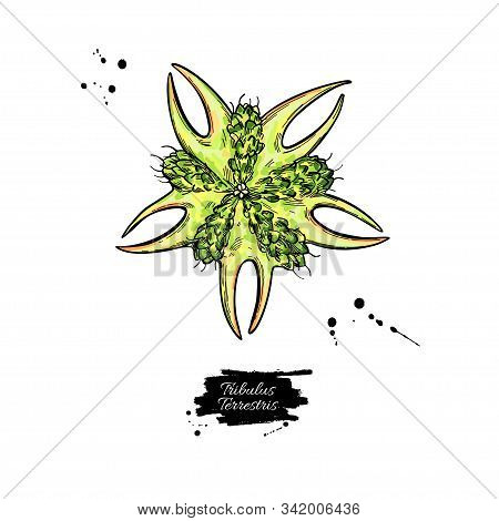 Tribulus Terrestris Seed Vector Drawing. Isolated Medical Plant . Herbal Illustration.