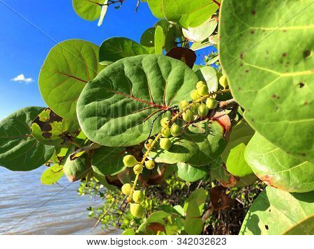 Sea Grapes On The Beach In South Florida