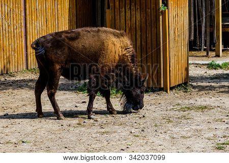 Auroch (bison Bonasus) In Corral At The Farm