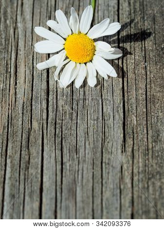 White Daisy Flower On Rustic Weathered Wooden Table. Harvesting Of Fresh Camomile Flowers In The Gar
