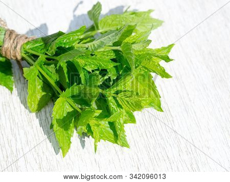 Peppermint Sprig Bouquet On Rustic White Wooden Table. Harvesting Bunch Of Fresh Mint Leaves In The