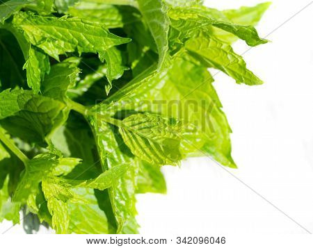 Harvesting Bunch Of Fresh Mint Leaves In The Garden. Peppermint Sprig On Rustic White Wooden Table.