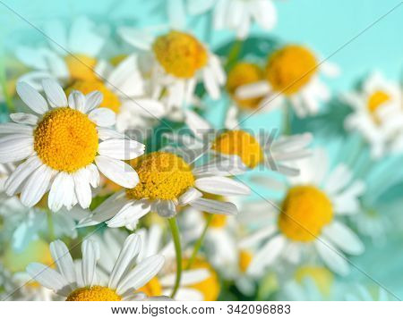 Fresh Chamomile Flowers - Medicinal Chamomile Plant On A Bright Turquoise Background