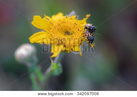 Two Beetle Copulating On A Yellow Flower.