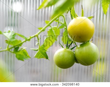 Branch Of Green Ripening Tomatoes In The Green House. Harvest Of Organic Vegetables .