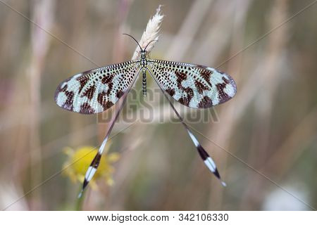 Nemoptera Coa In Its Natural Environment. Macro Photography.