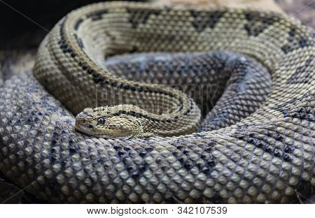 The  Northwestern Neotropical rattlesnake is characterised by its large size, pronounced vertebral ridge , and a highly potentent venom. Crotalus culminatus. poster