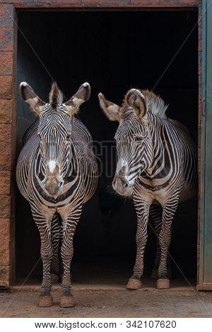 Grevy's Zebra  040418-0805