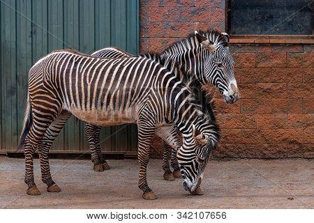 Grevy's Zebra  040418-0849