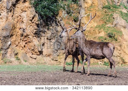 Deer Are The Ruminant Mammals Forming The Family Cervidae.