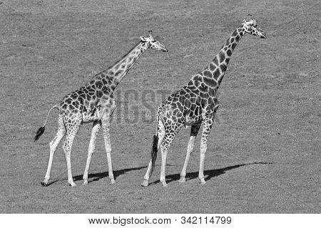 The Giraffe (giraffa) Is A Genus Of African Even-toed Ungulate Mammals, The Tallest Living Terrestri