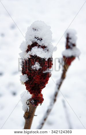 Snow On Drupes Of A Staghorn Sumac