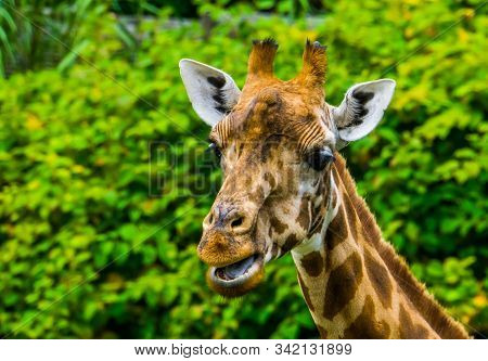 Closeup Of The Face Of A Kordofan Giraffe Chewing, Critically Endangered Animal Specie From Sudan In