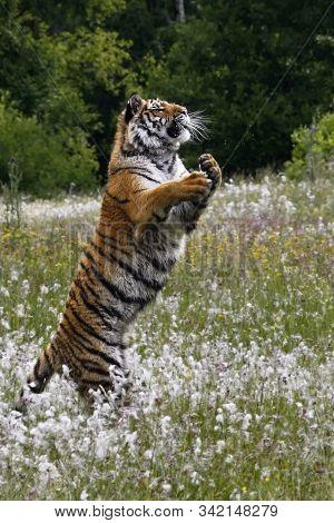 The Siberian Tiger (panthera Tigris Tigris), Or  Amur Tiger (panthera Tigris Altaica) Jumping In The