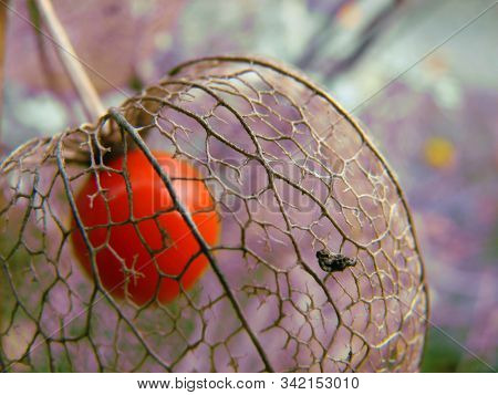 Physalis Berry Coated By Decomposing Shell Leaves With Blurry Background