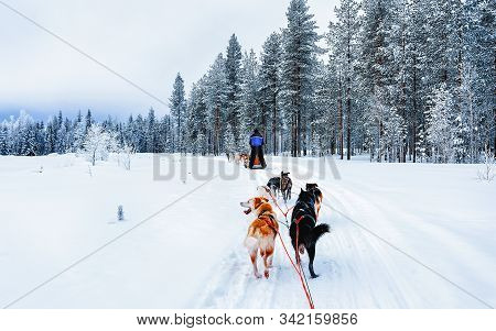 Man On Husky Dog Sled In Finland In Lapland Winter Reflex
