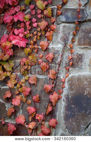 Red Leaves Of Parthenocissus Tricuspidata Veitchii Growing On A Medieval Wall Background. Also Calle