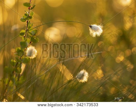 Macro Shot Of Cotton Grass In The Sunset Light. Nature Background