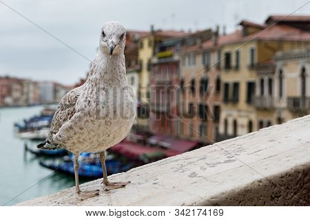 Close-up Portrait Of Vain Seagull In Venice