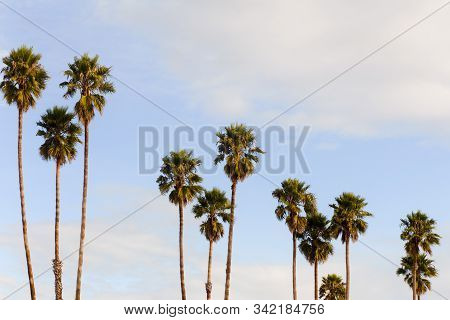 Row Of Palm Trees With Blue Sky And Clouds On Santa Cruz Beach, Santa Cruz, California, Usa