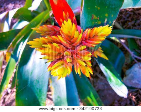 Hot Pink And Yellow Tropical Island Flower - Amazonian Zebra Plant