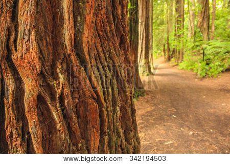 Redwoods At Whakarewarewa Forest In Rotorua, North Island, New Zealand