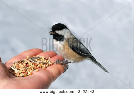 Black Capped Chickadee On A Hand