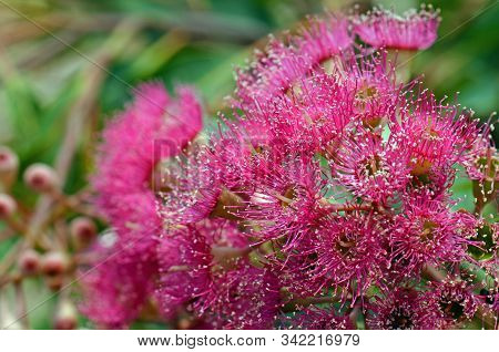 Pink Blossoms And Buds Of The Australian Native Corymbia Graft, Family Myrtaceae. Cultivar Of Corymb