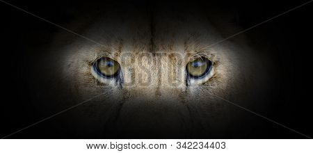 Lion Portrait On A Black Background. View From The Darkness