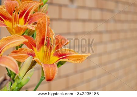 Place For Text On A Yellow Brick Wall With Daylily Brown-yellow. Hemerocallis Fulva