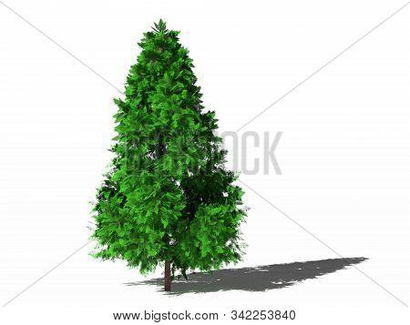 Lawson Cypress. Chamaecyparis Lawsoniana, Lawson Cypress Or Port Orford Cedar Isolated On White Surf
