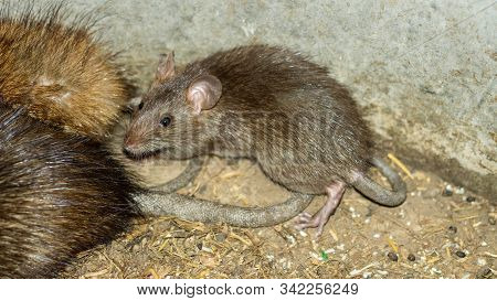 Wild Or Field Rats Is The Language That Thailand People Call Which Be Used To Make Food, And Now Thi
