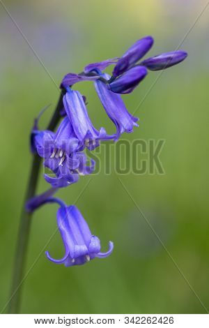 Close-up Image Of A Common Bluebell (hyacinthoides Non-scripta)