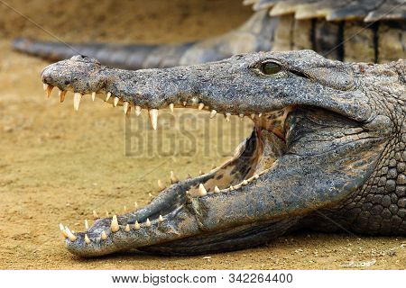 The Nile Crocodile (crocodylus Niloticus) ,nile Crocodile Portrait. Portrait With Open Jaw