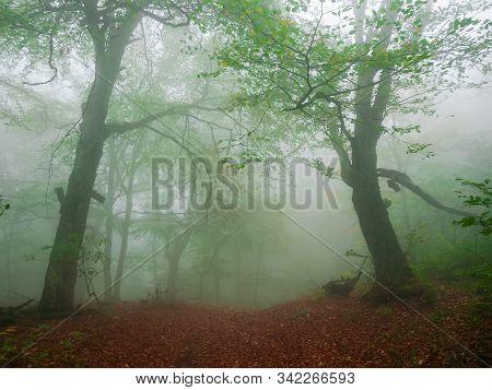 Beech Forest On Hillside In Early Autumn In Heavy Fog